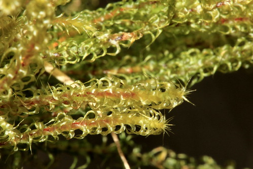 Springy Turf-moss 25831