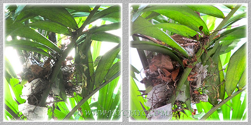 Nest-building by Pycnonotus goiavier (Yellow-vented Bulbul), March 19 2014