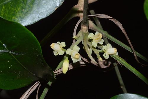 Dysoxylum latifolium DSC_0552 (8)