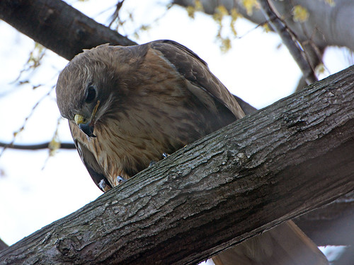 Red-Tailed Hawk (6892)