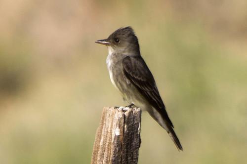 bird olivesidedflycatcher kerncounty kernriverpreservemigrantcorner