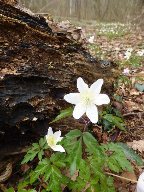 Wood anemones in Firestone Copse