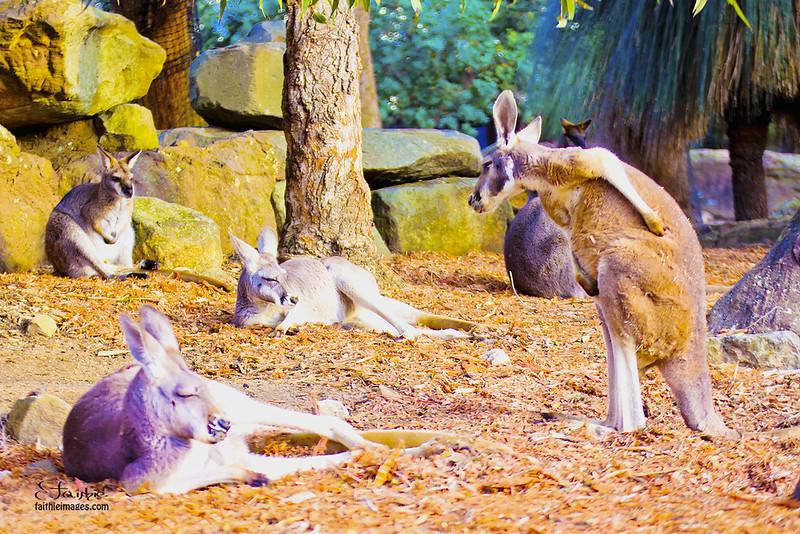 mob of kangaroos