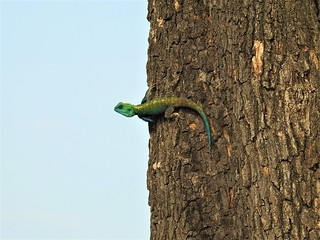 Blue Throated Agama (Agama atricollis) 4