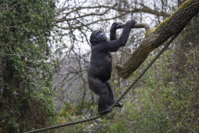 Am Gorillaberg im Zoo Hannover