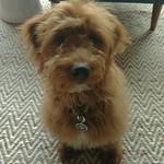 Addie's past F1 mini puppies !!