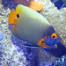 Small photo of Aquar.blueface angelfish