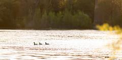 3 ducks