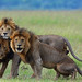 Lucky Lions - Marsh Pride Males - 5801b+ by teagden