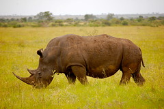 animal, prairie, plain, grazing, rhinoceros, fauna, meadow, pasture, savanna, grassland, safari, wildlife,