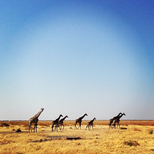 Giraffes in Savute. #botswana