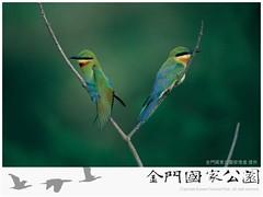 栗喉蜂虎(賞鳥解說活動)-01