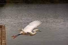 A crane taking off