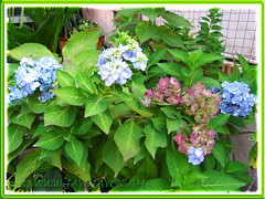 Blue Hydrangea macrophylla 'Endless Summer' changes colour as it ages, Aug 16 2013