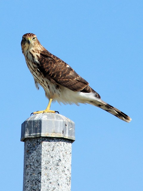 Cooper's Hawk 2-20130904