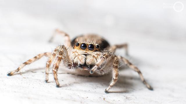 Jumping Spider- Menemerus bivittatus 1 ♀