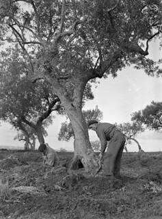 """Troopers of """"A"""" Squadron, The Calgary Regiment, who are under enemy shellfire, digging a grave for a comrade... / Des parachutistes de l'escadron « A » du Calgary Regiment, sous les feux de l'ennemi, creusent une tombe..."""