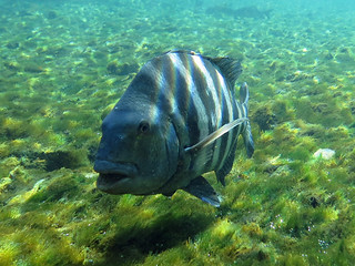 A sheepshead living in the freshwater of Manatee Springs near Chiefland, Florida