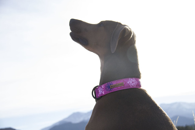 Dublin Dog Collar Review