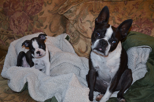 An adult and a puppy Boston Terrier both looking at the camera.