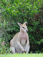 white-tailed deer(0.0), wallaby(1.0), animal(1.0), grass(1.0), marsupial(1.0), mammal(1.0), kangaroo(1.0), fauna(1.0), wildlife(1.0),