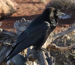 emberizidae(0.0), blackbird(0.0), rook(0.0), animal(1.0), wing(1.0), raven(1.0), nature(1.0), crow(1.0), fauna(1.0), american crow(1.0), beak(1.0), bird(1.0), wildlife(1.0),
