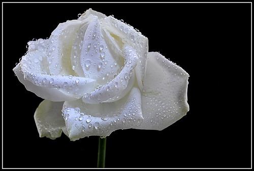 White Rose covered with Waterdrops