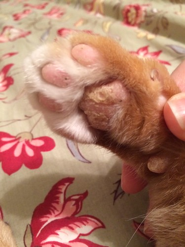 Dry Cracked Paw Pad Cat Forum Cat Discussion Forums