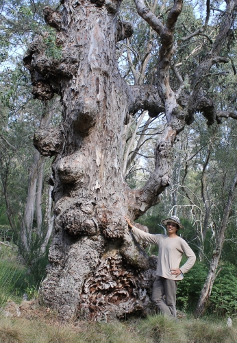 with gnarled Eucalypt Polblue Swamp