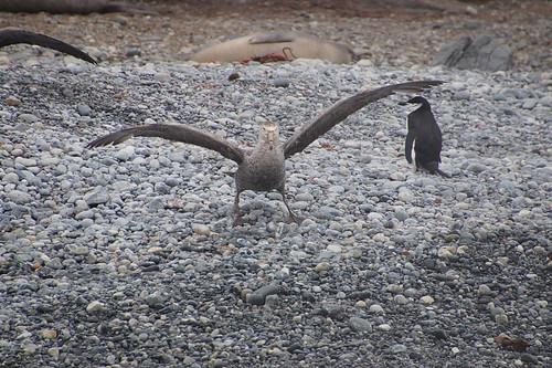 523 Reuzenstormvogel en kinbandpinguïn