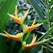 yellow bird of paradise