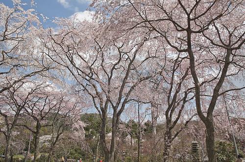 【写真】桜 : 山越周辺