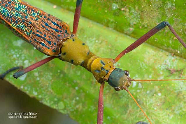Knob necked stick insect (Calvisia sp.?) - DSC_4535