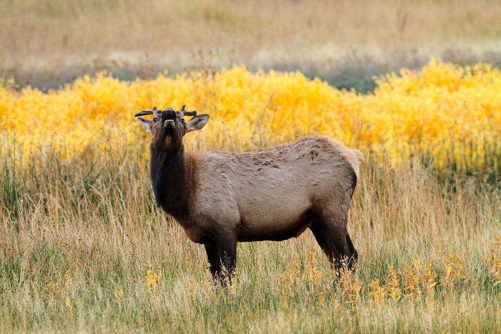 A young elk bull with stunted antlers in Yellowstone National Park