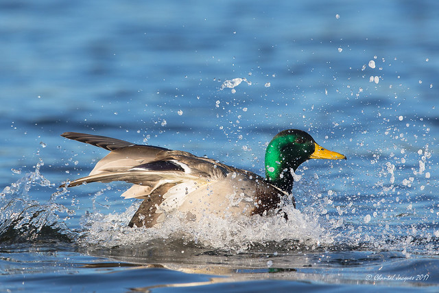 Mallard making a splash