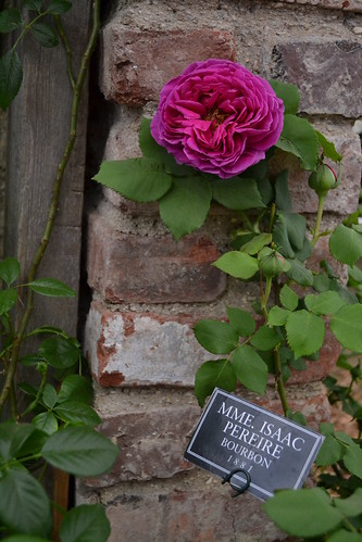 Mme Isaac Periere Bourbon rose