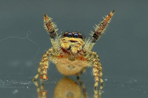 Salticidae (Jumpingspider)