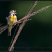Dickcissels by SanjibB Photography