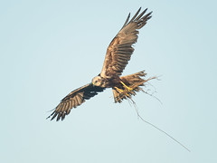 HolderMale Marsh Harrier gathering nest material