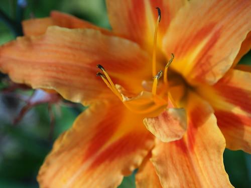 Daylily (Hemerocallis)