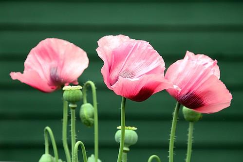 trois fleurs de pavot / three poppies