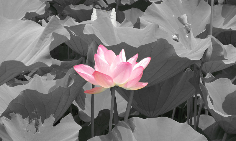 A large pink lotus blossom against a black and white background of leaves