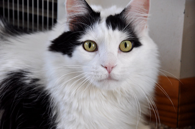 Long Haired Domestic Cat Lifespan