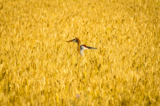 Sandhill Crane, Cranes, Wheat, Field, Wisconsin, Door County
