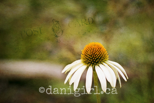 photo of coneflowers
