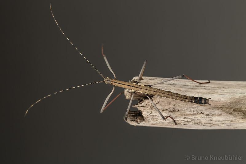 "Pseudophasma sp. ""Bolivia"" - nice, small phasmid species 9518442344_c1ba7facac_c"