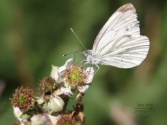 British Butterflys
