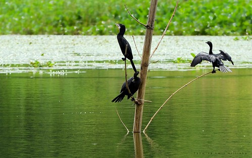 Great Cormorant.. (বড় পানকৌড়ি)