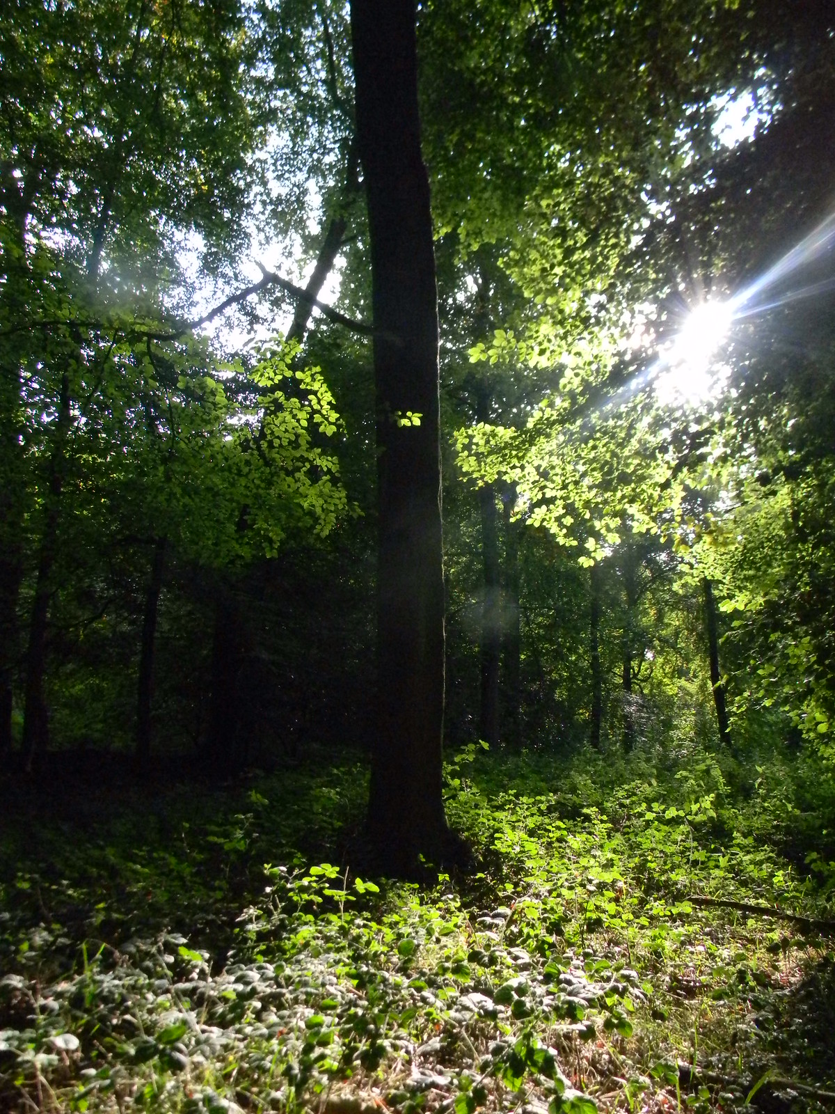 Sunlit tree 1 Goring Circular