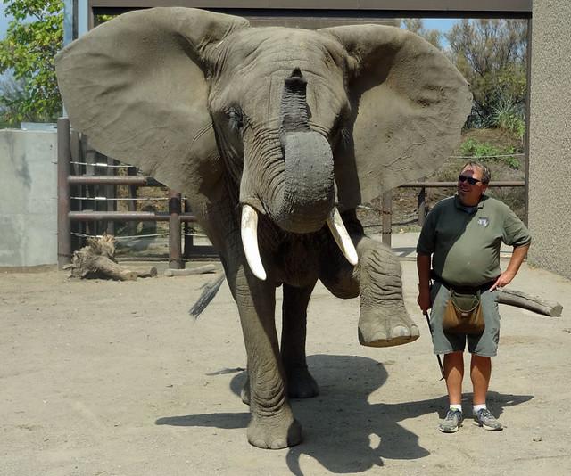 tombi the indianapolis zoo elephant
